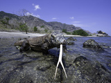 Komodo Dragons (Varanus Komodoensis) are the Worlds Largest Lizards  Rincisland  Komodo Np