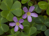 Redwood Sorrel (Oxalis Oregana) Is a Dicot Native to California