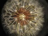 Dandelion Seeds (Taraxacum Officinale)  Stereomicroscopy