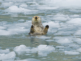 Sea Otter in Icy Water  Enhydra Lutris  Prince William Sound  Alaska  USA  Pacific Ocean