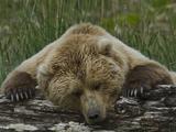Grizzly Bear  (Ursus Arctos) Hallo Bay  Katmai National Park  Alaska