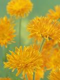 Calendula Flowers (Calendula Officinalis)  Porcupine Variety