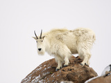 Mountain Goat (Oreamnos Americanus)  Rocky Mountains  North America