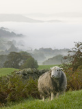 A Herdwick Sheep in the Lake District  United Kingdom