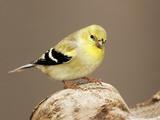 American Goldfinch (Carduelis Tristis)  North America
