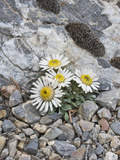 Ground or Tufted Townsend Daisy (Townsendia Scapigera)