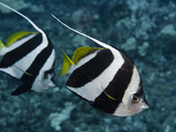 Pennant Bannerfish (Heniochus Chrysostomus)  Hawaii  USA