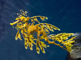 Leafy Sea Dragon (Phycodurus Eques)  Australia