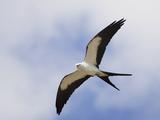 Swallow-Tailed Kite (Elanoides Forficatus) in Flight
