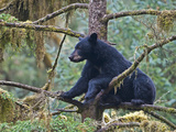 American Black Bear (Ursus Americanus) in a Tree  Tongass National Forest  Alaska  USA