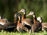 Black-Bellied Whistling-Duck Flock (Dendrocygna Autumnalis) on a Pond Shoreline  Florida  USA