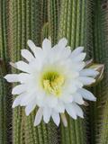 Torch Cactus (Trichocereus Spachianus)  Argentina