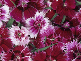 Baby Doll Variety Dianthus Flowers