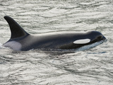 The Orca or Killer Whale (Orcinus Orca)  Johnstone Strait  Vancouver Island  British Columbia