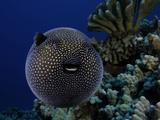 A Guineafowl Pufferfish (Arothron Meleagris)  Hawaii  USA