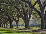Stately Live Oak Trees Draped in Spanish Moss  Boone Hall Plantation