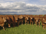 Young Stock of Limousin Cattle
