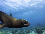South American Sea Lion or Southern Sea Lion (Otaria Flavescens)  Captivity