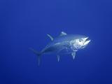 Yellowfin Tuna (Thunnus Albacares)  Pacific Ocean  Guadalupe Island  Mexico