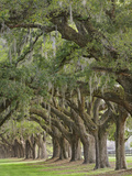 Stately Live Oak Trees Draped in Spanish Moss  Boone Hall Plantation  Mount Pleasant