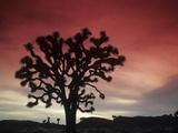 Joshua Tree Silhouetted at Sunset  Yucca Brevifolia  Joshua Tree National Park  Mojave Desert