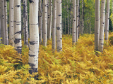 Stand of Quaking Aspen Tree  Populus Tremuloides  with Fall Fern Understory
