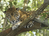 Jaguar in a Tree (Panthera Onca)  Belize