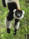 Black-And-White Ruffed Lemur Hanging from a Branch by its Tail