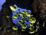 Schooling Raccoon Butterflyfish (Chaetodon Lunula) Off the Island of Lanai  Hawaii  USA
