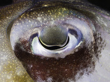 Close Up of the Eye of a Papuan Cuttlefish (Sepia Papuensis)  Indonesia