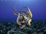 Female Day Octopus (Octopus Cyanea) Showing Suckers  Pacific Ocean  Maui  Hawaii