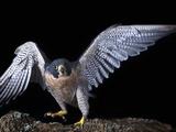 Peregrine Falcon (Falco Peregrinus)  Captive