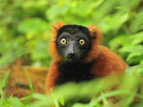 Red Ruffed Lemur (Varecia Rubra)  Masoala National Park  Madagascar