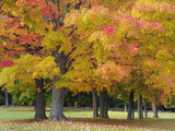 Maple Trees in Autumn Colors  Near Concord  Massachusetts