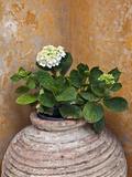 Flower in Pot  Crete  Greece