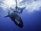 A Humpback Whale Calf (Megaptera Novaeangliae) Swimming Near its Mother  Hawaii  USA