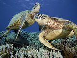 Green Sea Turtles (Chelonia Mydas), an Endangered Species, at a Cleaning Station Off Maui, Hawaii Papier Photo par David Fleetham