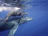 Humpback Whale Mother and Calf (Megaptera Novaeangliae)  Maui  Hawaii  USA