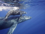 Humpback Whale Mother and Calf (Megaptera Novaeangliae), Maui, Hawaii, USA Papier Photo par David Fleetham