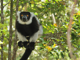 Black-And-White Ruffed Lemur (Varecia Variegata Variegata)  Toamasina  Tamatave  Eastern Madagascar