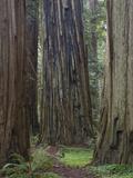 Trail Through Stout Memorial Grove  Jedediah Smith Redwoods State Park  California  USA