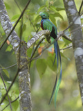 Resplendent Quetzal Male (Pharomachrus Mocinno)  Cierro La Muerte  Costa Rica