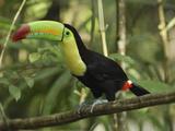 Keel-Billed Toucan (Ramphastos Sulfuratus)  Belize