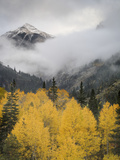 Aspens in their Autumn Finery Deep in the Uncompahgre River Gorge Near Ouray