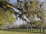 Live Oak Trees Draped in Spanish Moss  Boone Hall Plantation  Mount Pleasant  Christ Church Parish