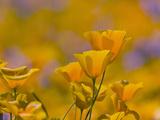 Mexican Poppy Flowers (Eschscholzia Mexicana)  Sonoran Desert  Arizona  USA