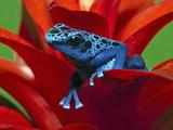 Blue Poison Dart Frog (Dendrobates Azureus)  Reclassified As  (Dendrobates Tinctorius)  Surinam
