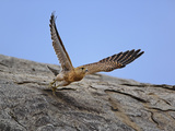 Common Kestrel (Falco Tinnunculus) in Flight  Serengeti National Park  Tanzania  Africa