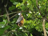 Rodrigues Flying Fox or Fruit Bat (Pteropus Rodricensis)  Rodrigues Island  Mauritius