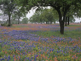 Texas Bluebonnets  Lupinus Texensis  and Texas Paintbrush  Castillejindivisa